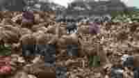 domba angon peternak makan sampah di TPA