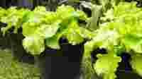 Budiaya Sayuran Dalam Pot/foto.bibitonline.com